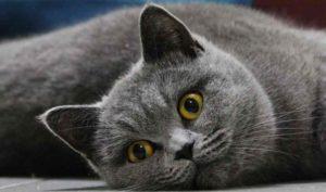 britcat