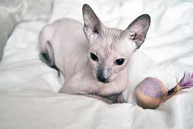 лисі породи котів